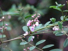 Common Name: Native Indigo Pea Species: Indigofera australis Family: FABACEAE A shot of a flowering branch of Indigofera australis ,. Common Names, Native Plants, Nativity, Indigo, Seeds, Garden, Photography, Garten, Photograph