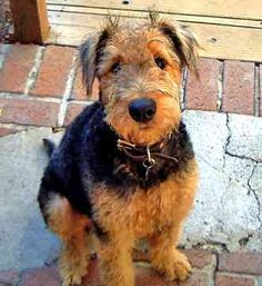 Google Image Result for http://ilovedogbreeds.com/wp-content/gallery/airedale-terrier-pictures/airedale-terrier-7.jpg