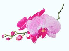 #Watercolor #Watercolour #art #orchid #brigitteklassenart
