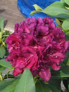 Rhododendron 'Slam Dunk' by Behnke Nurseries, Inc, via Flickr