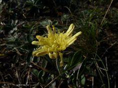 Kleines Habichtskraut, Piloselle (Hieracium pilosella)