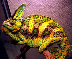 The Fallen Hero: The chameleon within. Veiled Chameleon, Chameleon Lizard, Colorful Animals, Cute Animals, Desert Lizards, Frog And Toad, Reptiles And Amphibians, Beautiful Creatures, Animal Kingdom
