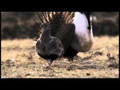 Sage Grouse on BBC David Attenborough