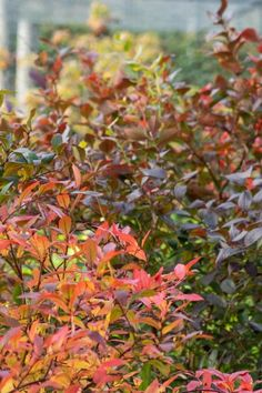 Blueberry bushes can be decorative - they have beautiful spring flowers and fall colour #gardening #garden #middlesizedgarden #backyard Spring Flowers, White Flowers, Euonymus Alatus, Viburnum Opulus, Acid Loving Plants, Blueberry Bushes, Garden Privacy, Herbaceous Border, Burning Bush