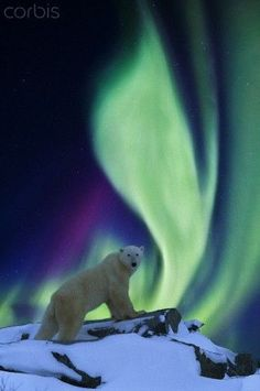 DIGITAL COMPOSITE: Aurora borealis swirls across the sky over a polar bear standing on a rock on the tundra. Beautiful Creatures, Animals Beautiful, Cute Animals, Aurora Borealis, Hirsch Illustration, Northen Lights, Photo Images, Tier Fotos, Mundo Animal