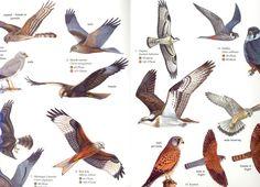 25 Best British Birds Of Prey Images Birds Of Prey John Gould