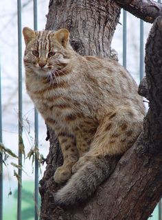 Леопардовая кошка