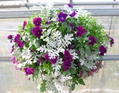"Plants for Hanging Baskets with Dusty Miller - Stunning!  annual in zones 3-8; height 8""-15""; grows well in almost any soil but rots will rot if water-logged."