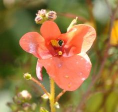 A Trailing Flower that Blooms All Season - Diascia: The Diascia flower looks a little like it's sticking out it's tongue.