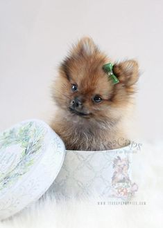 Pomeranian Breed, Pomeranian Puppy For Sale, Teacup Pomeranian, Pomeranians, Chihuahuas, Teacup Puppies For Sale, Cute Puppies, Dogs And Puppies, Yorkie Dogs