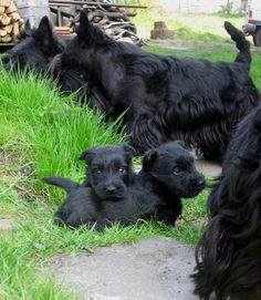 """El Scottish Terrier (Scottish Terrier), popularly known as """"scottie"""", It is one of the five breeds of Terrier that originated in Scotland. Terrier Breeds, Terrier Dogs, Dog Breeds, Cairn Terrier, Baby Dogs, Dogs And Puppies, Doggies, I Love Dogs, Cute Dogs"""