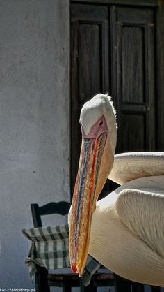 Pelican, Mykonos, Greece, saw this fellow in Mykonos or one just like it, walked right up to me....