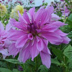 Dahlie 'Lavender Ruffles' - verspielte Blüten in zartem Violett. Pflanzzeit ist im Frühling. Knollen gibt's bei www.fluwel.de