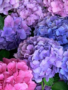 Multicolored Hydrangeas