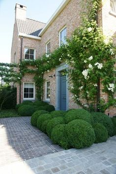Cloud boxwood and white climbing roses