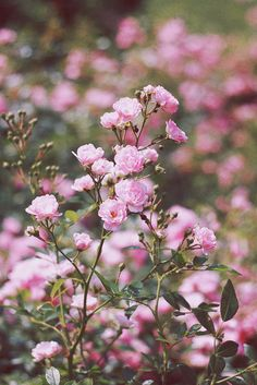 wild roses All Flowers, Flowers Nature, Colorful Flowers, Beautiful Flowers, Shabby Flowers, Love Rose, Rose Cottage, Pink Roses, Pale Pink