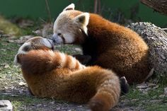 You smell like a red panda.