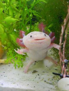 My axolotl Hephaestion