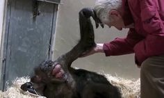 Magic moment dying chimp smiles for man who cared for her | Daily Mail Online