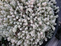 Sedum brevifolium induratum (1)