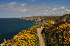 Gorse on the footpath to St Agnes, Cornwall