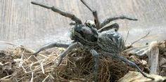 """Résultat de recherche d'images pour """"araignée dangereuse"""" Spider, Insects, Images, Animals, Search, Spiders, Animales, Animaux, Animal"""