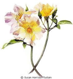 Free Demonstration of a Botanical Rose Study -by Susan Harrison-Tustain
