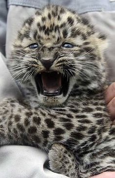 A four-week-old Amur leopard baby is presented to the public for the first time at an animal park in Hodenhagen, northern Germany.  Amur leopards are critically endangered; it's believed that there are fewer than 40 of them left in the wild (they're native to eastern Russia), with an additional few hundred in zoos.  Nigel Treblin / AFP/Getty Images