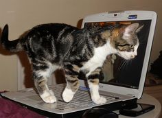 Kitten Blogs You by Simon Chilton on Flickr.Amy Farrah Meowler is on your Laptop adding her two cents to her human's blog.