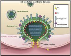 influenza virus model
