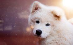 Download imagens Samoyed, filhote de cachorro, branco peludo cão, animais de estimação, animais fofos, cachorros