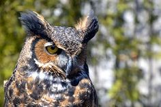 Eule, Vogel, Ave, Nacht, Birds Of Prey