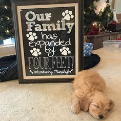 New puppy announcement our family has expanded by four feet personalized printable new dog social media announcement Puppy Care, Pet Puppy, Dog Care, Tiny Puppies, Cute Puppies, Newborn Puppies, Puppies Tips, Baby Dogs, Yorky