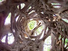 Say hello to the strangler fig. Its found in tropical South America, and is, in all actuality, a parasite. It grows in the crevices of branch intersections and grows its roots all the way to the ground, wrapping around the host tree, ultimately cutting of its ability to grow and stealing food. When the host tree dies, the strangler fig remains, creating these beautiful structures that call to me like a jungle gym. Natural architecture at work.