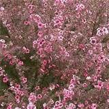 """leptospermum - (This is also known as """"Australian Tea Tree""""--It grows tall but can die if there's a super-cold winter-L)"""