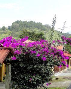 #purple #flowers #Boquete #Chiriqui #Panama