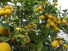 limonero dulce - Buscar con Google