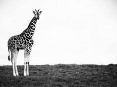 The ever new collection of black and white giraffe high resolution background desktop wallpaper