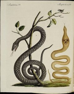 Snakes from Bertuch's Bilderbuch für Kinder, a Children's Encyclopedia of Ethnography, Natural History, and Science published between 1790 and 1830 in 12 volumes