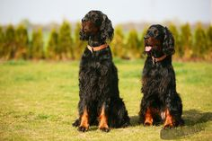 Gordon Setter Mother and Daughter