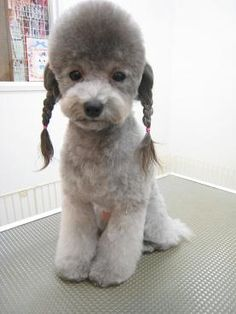 school girl style for toy poodle (HAHAHAHAHA THE HELL?)