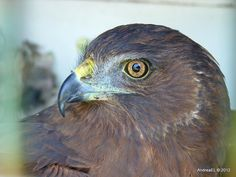 Harrier Hawk New Zealand South Island - Such magnificent birds... a photo taken in the wild...