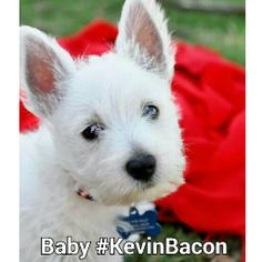 Kevin Bacon the West Highland White Terrier.  #westie #WestHighlandTerrier #whwt #terrier #KevinBacon