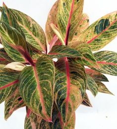 Tropical Passion Chinese Evergreen Plant -Aglaonema- Grows in Dim Light - Pot Fall Plants, Green Plants, Indoor Plants, Planting Bulbs, Planting Flowers, Chinese Evergreen Plant, Low Light Plants, Plant Identification, Wildflower Seeds