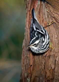 Black & White Warbler by DMF Photography on Flickr.