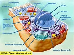 celula animal partes - Buscar con Google White Out Tape, Google, Life, Nuclear Membrane, Animal Cell, Plant Cell, Nature, Cell Membrane, Human Body