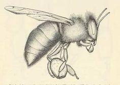 pollendrawing.jpg (305×216)