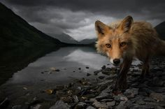 """Photos by Jonny Armstrong of a red fox taken from Karluk Lake on Kodiak Island. Notes Jonny, """"In remote parts of Alaska, foxes are often bold and unafraid of people. Last summer I was able to closely observe a young red fox, following close behind as she trotted through the brush searching for salmonberries, or waded the lake shore looking for fish carcasses."""""""