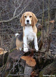 Beautiful Beagle #Beagle