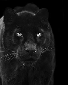 Black Panther, love the white whiskers. A BIG Ebony. Pretty Cats, Beautiful Cats, Animals Beautiful, Pretty Kitty, Big Cats, Cool Cats, Cats And Kittens, Black Panthers, Black Tigers